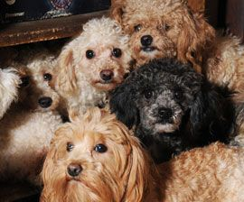 Petition drive to ban dog auctions and curb Ohio puppy mills     Miniature breeds at a US puppy mill
