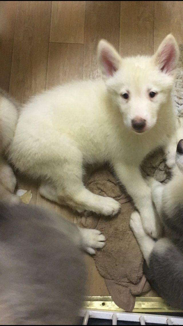 Husky X German Shepherd Puppies For Sale In St Osyth Essex