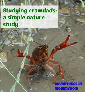 17 best studying crayfish images on pinterest education learning science sunday crawdads fandeluxe Gallery