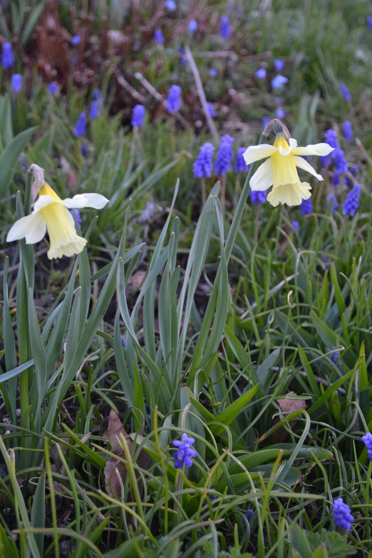 Ny narcis i haven, måske W.P.Milner, meget smuk på en underspillet måde.