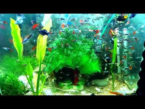 Top Fish Tank Aquariums Top 5 Questions About Guppy Fish 59
