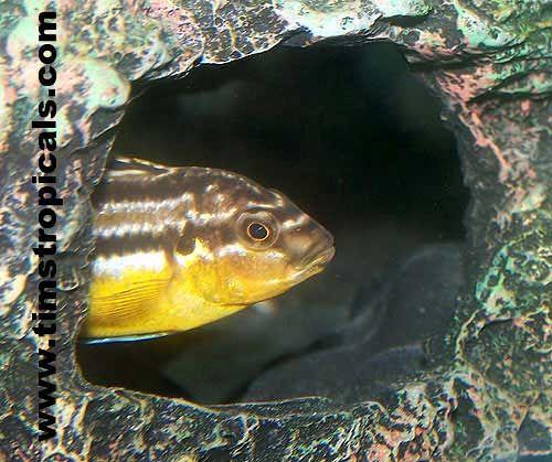 Melanochromis auratus Cíclidos