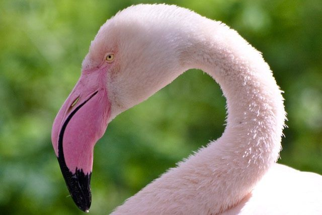 We Bet You Didn't Know These 20 Fun Facts about Flamingos!: The greater flamingo is the largest flamingo species.