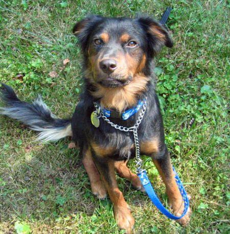 54 best Rottweiler (Mix) images on Pinterest | Rottweiler ...Australian Shepherd Rottweiler Mix Information