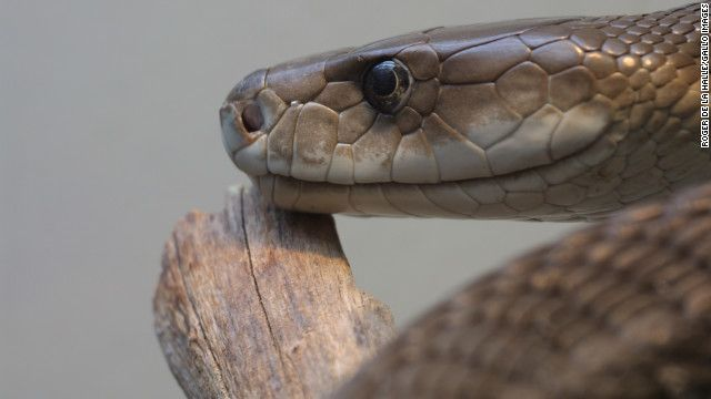 Google Image Result for http://i2.cdn.turner.com/cnn/dam/assets/121005032720-black-mamba-snake-venom-story-top.jpg