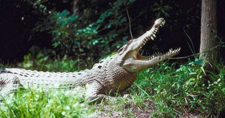 Etapas del desarrollo de un cocodrilo de agua salada. Encontrado en el norte de Australia, algunas zonas del sureste de Asia y la India, el cocodrilo de agua salada (Crocodylus porosus) es el reptil más grande. Los machos pueden alcanzar hasta 2.000 libras (907 kg) y medir 20 pies (6 m), pero las hembras son a menudo de la mitad de su tamaño. Durante su ciclo de vida, el cocodrilo de agua salada pasa ...