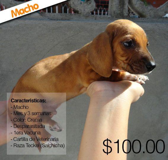 ÚLTIMOS CACHORROS Venta de cachorros teckel (salchichas) 2 hembras 2 machos  Desparasitados Primera vacuna whatsapp 0986699858 Domicilio 042578347