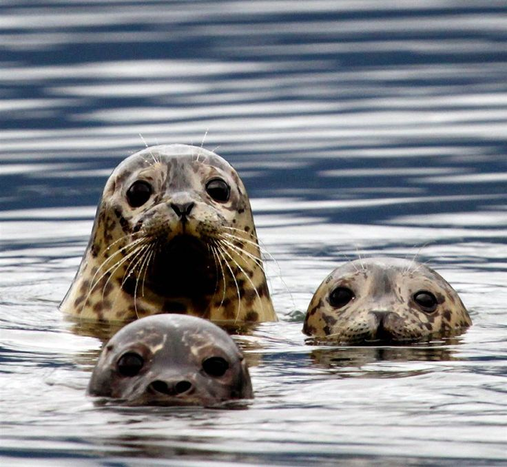 Rehabilitated harbor seals float in the waters of the Howe Sound after being released back into the wild by the Vancouver Aquarium's Marine Mammal Rescue Centre in Porteau Cove, B.C.. The center released 14 seals back into the wild north of Vancouver.