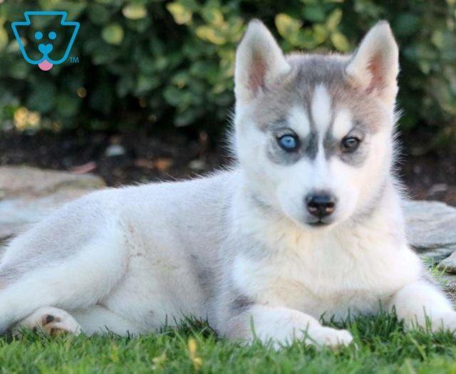 Buttercup Husky Puppy Husky Puppies For Sale Siberian Husky