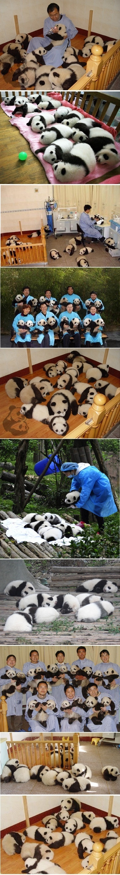 baby panda~ they're so fluffy i'm gonna die!!!