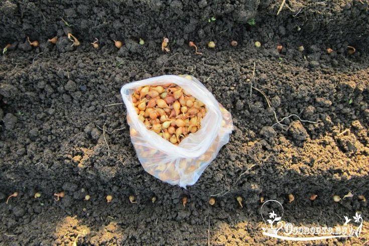 Посадка лука севка весной, когда посадить и как? Посадка севка на грядку, в апреле или мае? Посадите севок правильно и соберите большой урожай лука....
