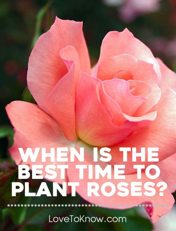 As the first hints of spring arrive in many parts of the country, gardeners considering adding rose bushes to their garden may question when is the best time to plant roses. After all, many shrubs and perennials are planted in the fall, so have they missed their planting window? | When is the Best Time to Plant Roses from #LoveToKnow