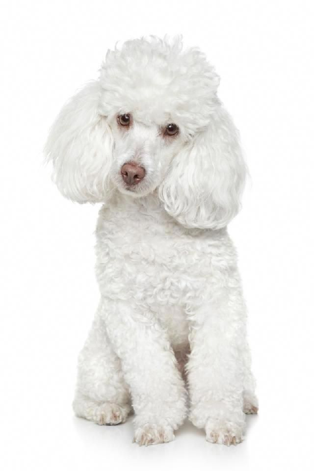 Pin By Marie Jones On Poodles White Toy Poodle Best Dog Breeds