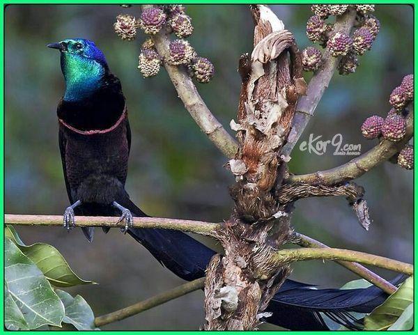 Burung Cendrawasih Cantik Yang Ada Di Indonesia Burung Cantik Burung Indonesia