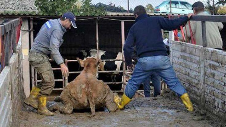 Genç Çiftçi Projeleri'nin desteklenmesi kapsamında getirilen büyükbaş hayvanlara kötü muamele çiftçilerin tepkisine neden oldu. Detaylar ajanimo.com'da.. #ajanimo #ajanbrian #hayvan #animal #hayvan
