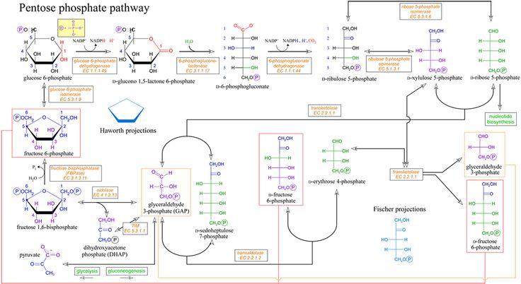Pentose Phosphate pathway - Google Search
