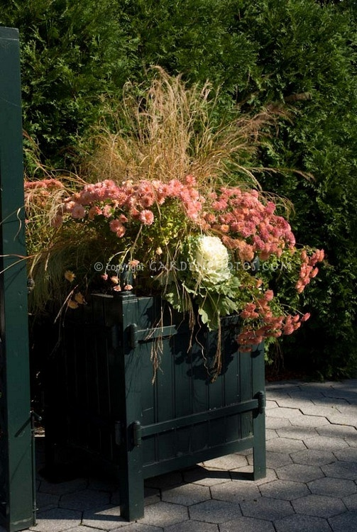 Fall winter container garden with kale chrysanthemums for Ornamental grass in containers for privacy