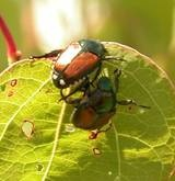 Adult Japanese Beetles- use a jar of soapy water to get rid of the little buggers.