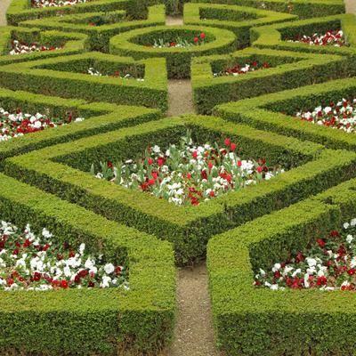 Le «buis ordinaire» ou «vrai buis» ( <i>B. sempervirens</i>) est la plante emblématique des jardins à la française.