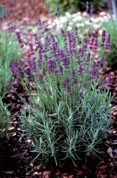 English Lavender Lavandula angustifolia 'Hidcote Superior' drought tolerant