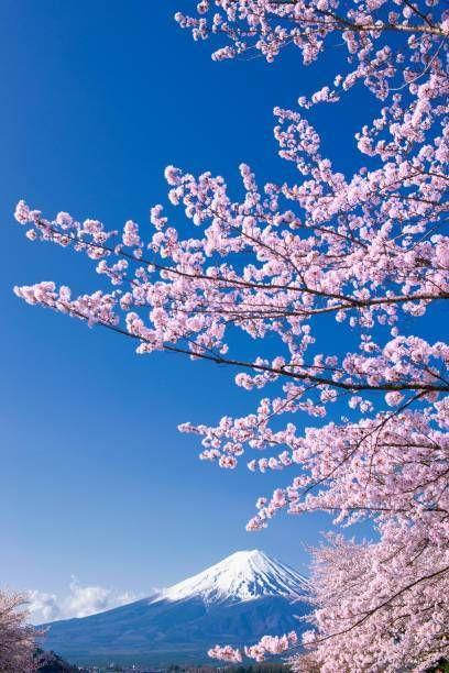 Fuji Mountain And Pink Sakura Tree With Blue Sky At Kawaguchiko Lake Japan In Spring Sakura Tree Fuji Mountain Japan