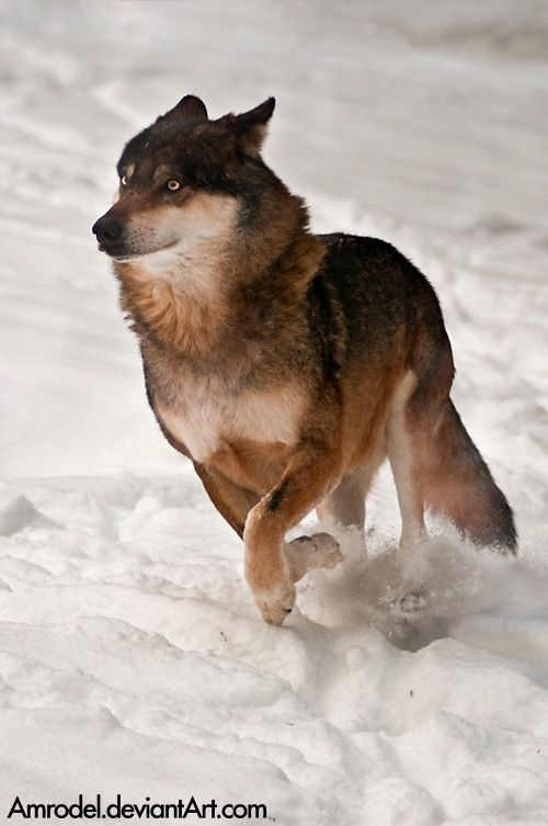 Running in Snow (Eurasian wolf (Canis lupus lupus) Lobo from Prague Zoo (Czech Rep.). Lobo is the alpha male and leader of the pack.) by amrodel on DeviantArt.