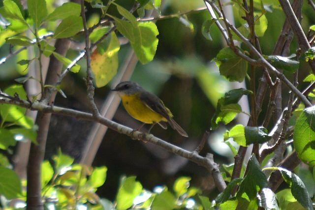 Eastern Yellow Robin #Eopsaltria #Australis