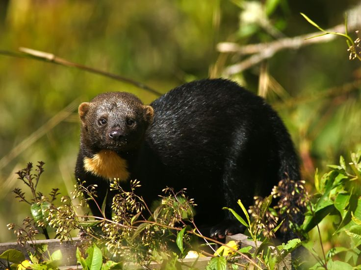 Tayra:     The tayra, also known as the tolomuco or perico ligero in Central America, irara in Brazil, and san hol or viejo de monte in the Yucatan Peninsula, is an omnivorous animal from the weasel family Mustelidae.