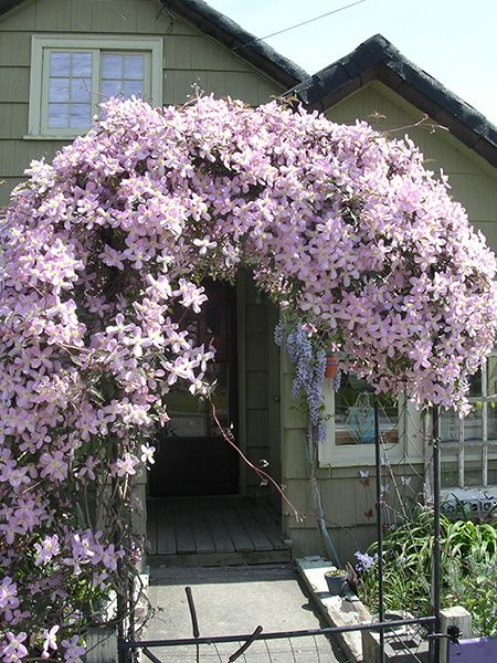 Clematis Montana, just planted one fingers crossed it looks as good as this one day