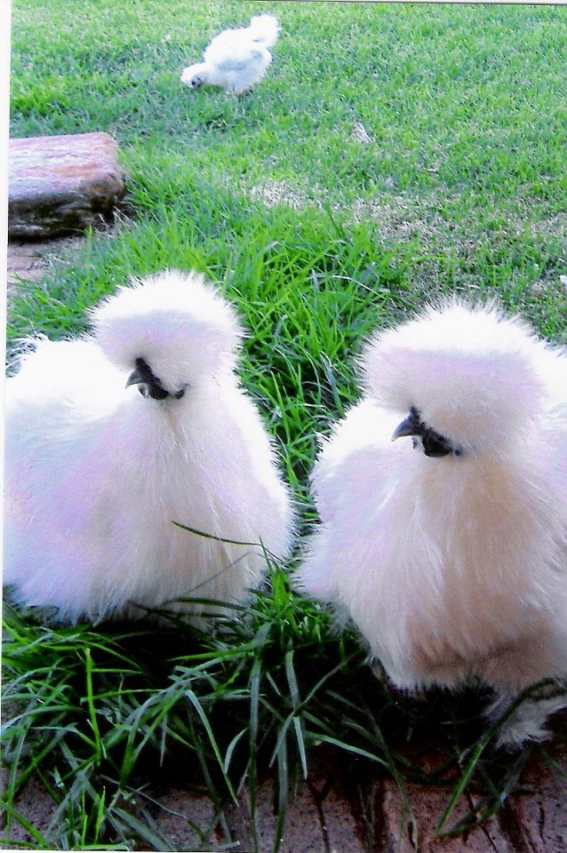 One day I WILL have a silkie chicken and I shall name it Tille!!