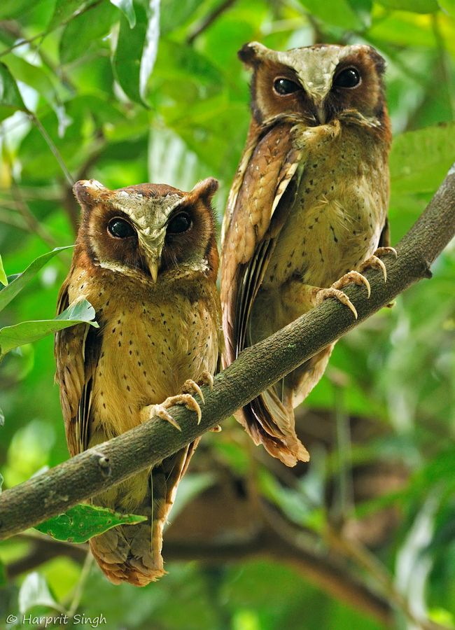 White Fronted Scops Owl Pair