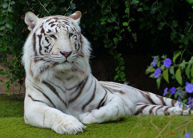 Harimau Putih atau Harimau Bengal - Binatang.ORG