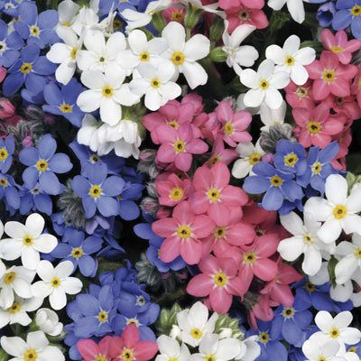 Plant of the week: Forget-me-not 'Sylva'