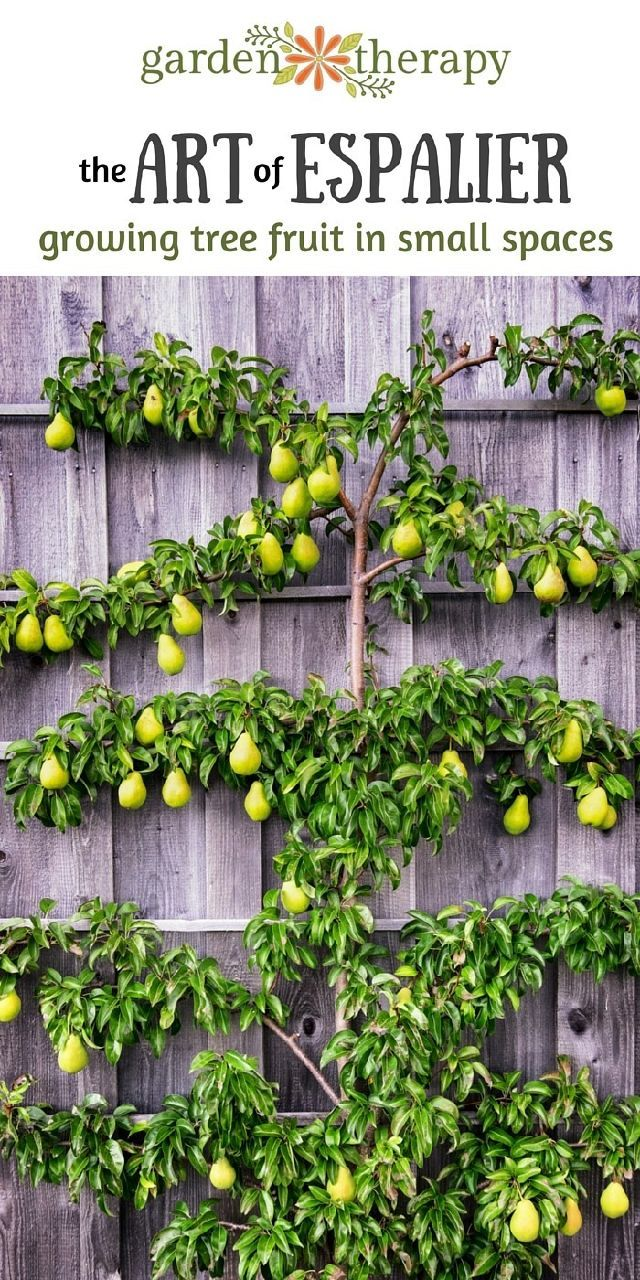 Growing espalier fruit trees in the home garden is a wonderful way to grow edibles in small spaces and in decorative ways. Training and pruning fruit trees to grow along walls or fences, keeps the ...
