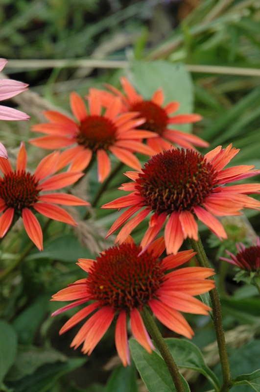 Echinacea Big Sky Sundown -Butterflies can't resist this glowing combo of salmons, golds, peach and pink and neither  can gardeners!