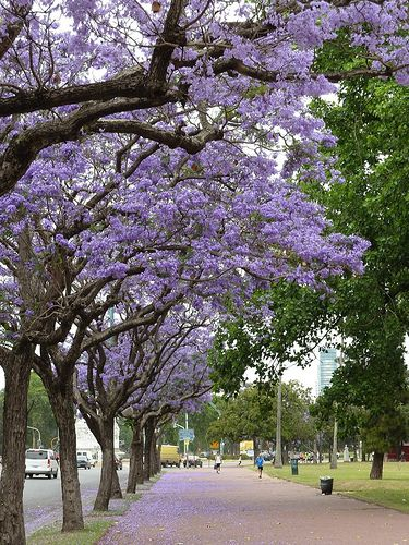 Lovelies Jacaranda trees and flowers in Palermo, Buenos Aires. Visit us and rent your apt www.idearental.com Feel free live like local!