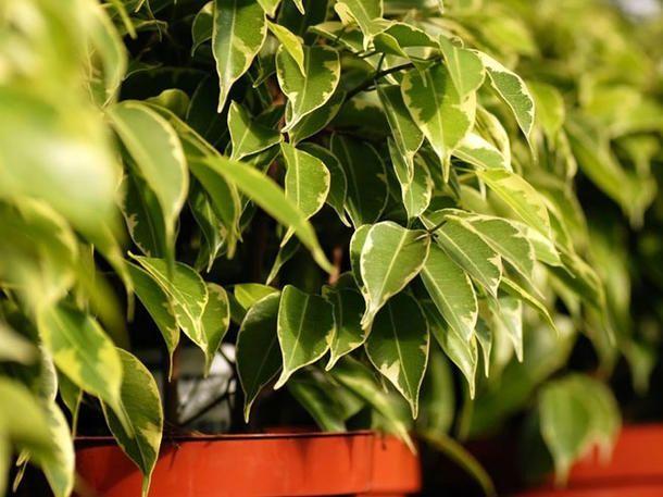 Diese Pflanzen helfen dir dabei, besser zu schlafen: Benjamini