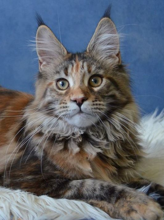 Maine Coon, black torti tabby blotched (f 22). Upgrade of Jurrasic Park*SK