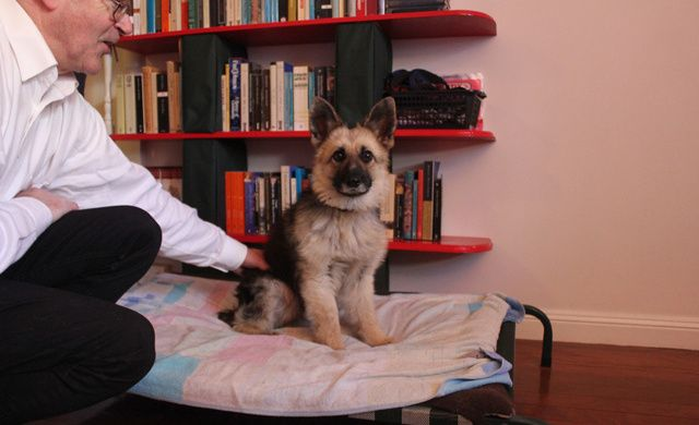 This German Shep has dwarfism. I think I want to steal him. #dogs #dog #pets