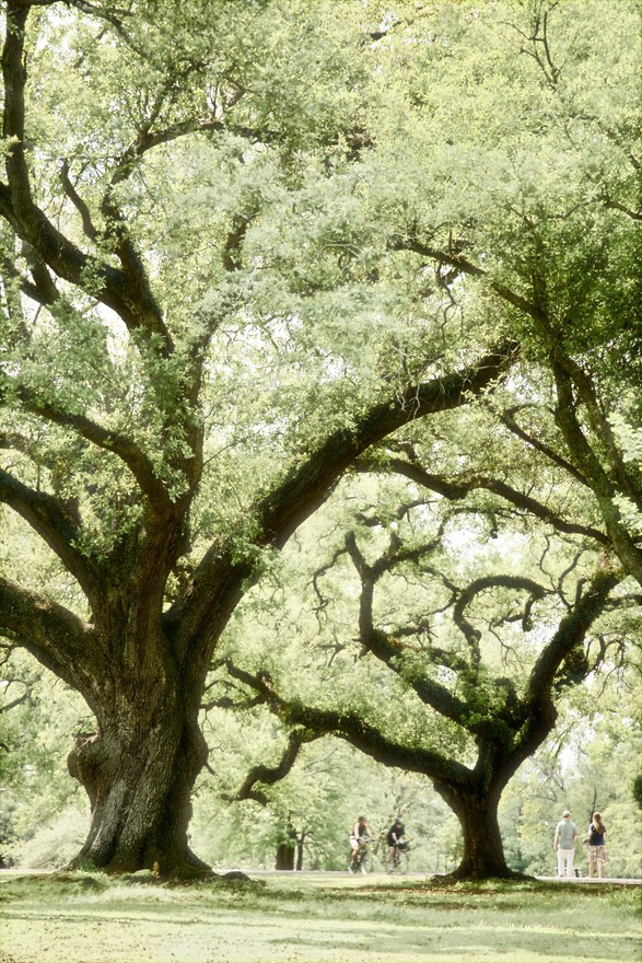 Majestic oak trees lining the Audubon Park  -  New Orleans