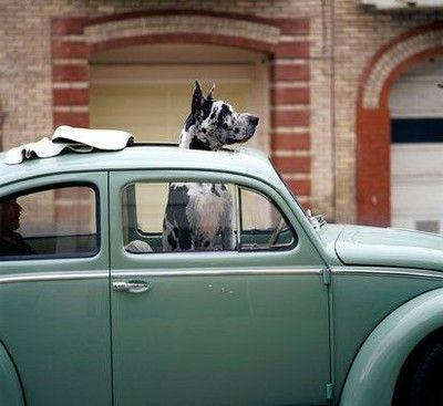 great dane.Great Danes, Puppies, First Cars, Vw Beetles, Vw Bugs, Greatdanes, Dreams Life, Big Dogs, Animal