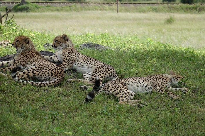 Languid cheetah on a game drive in Hwange, Zimbabwe