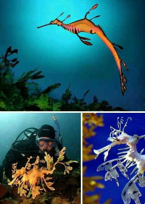 Seahorse , Sea dragon