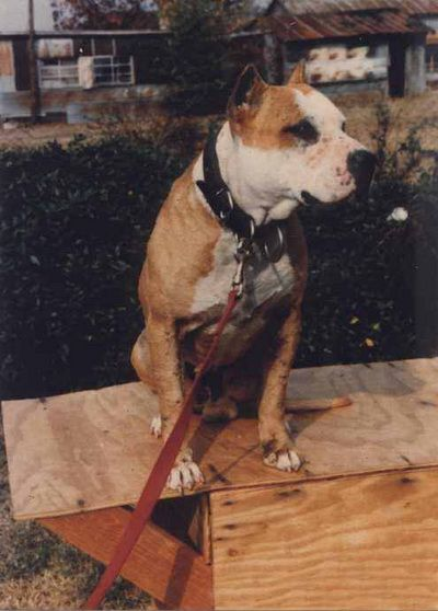 American Pit Bull Terrier: a collection of Animals and ...