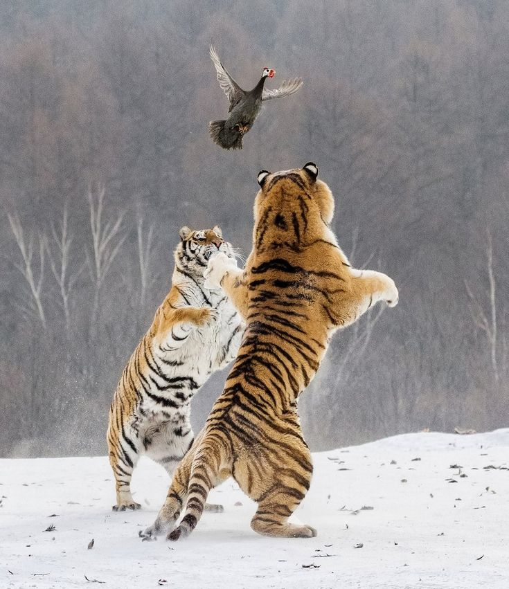 Красивые картинки тигры с кошками