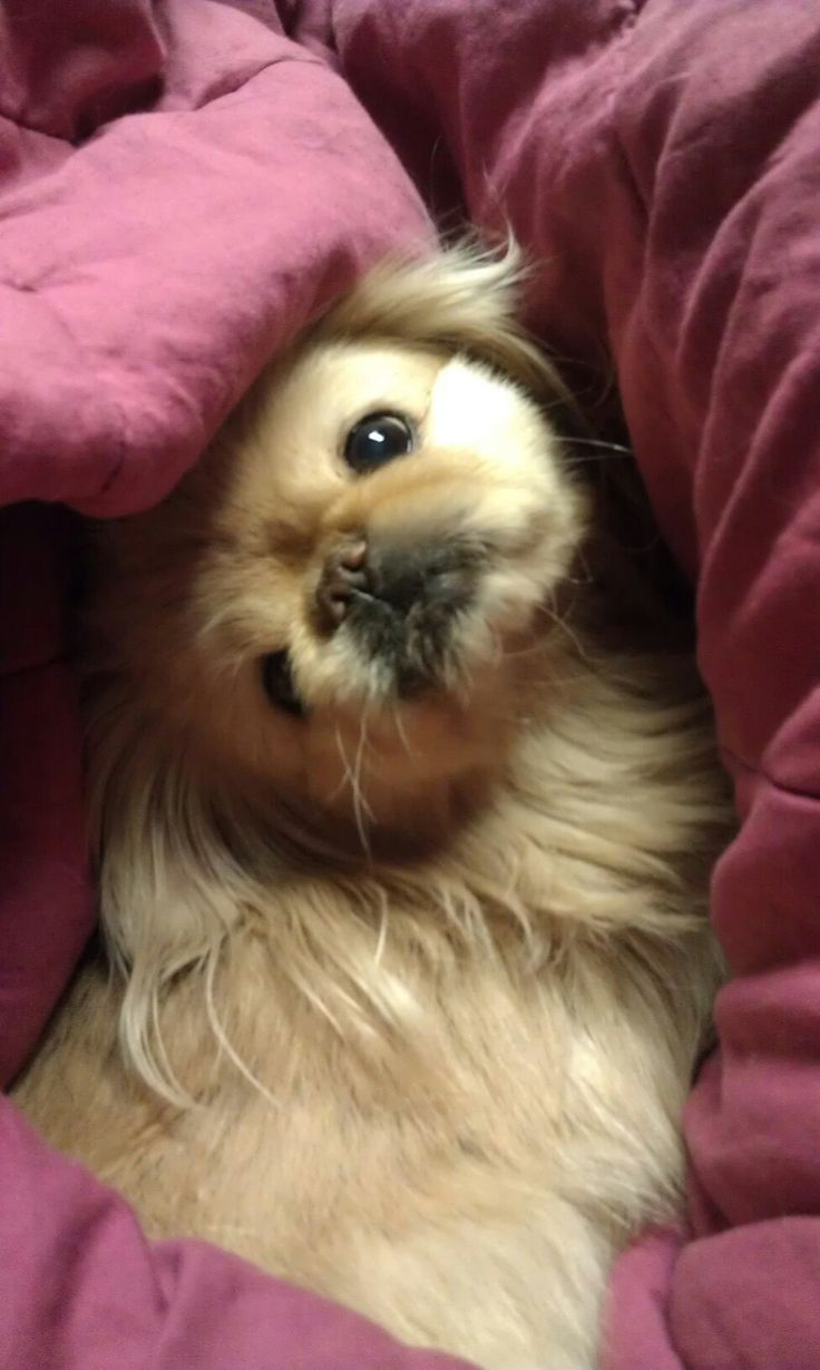 Pekines Pekines Pekingese Pekingese Puppies Pekingese Dogs
