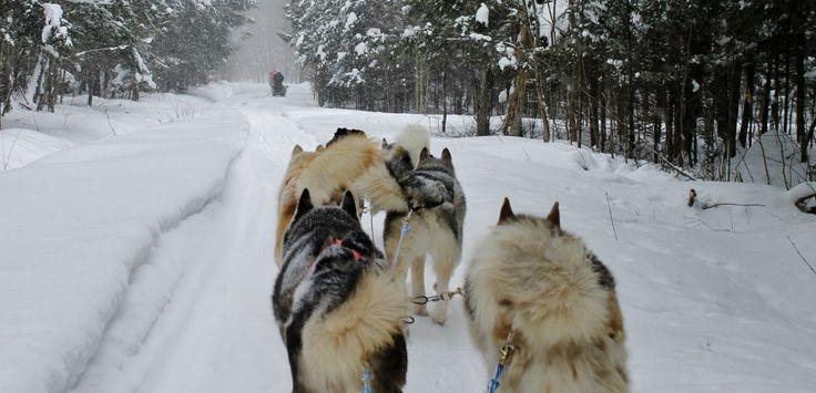 Mit dem Hundeschlitten durch Québecs verschneite Wälder: ein Erlebnis!