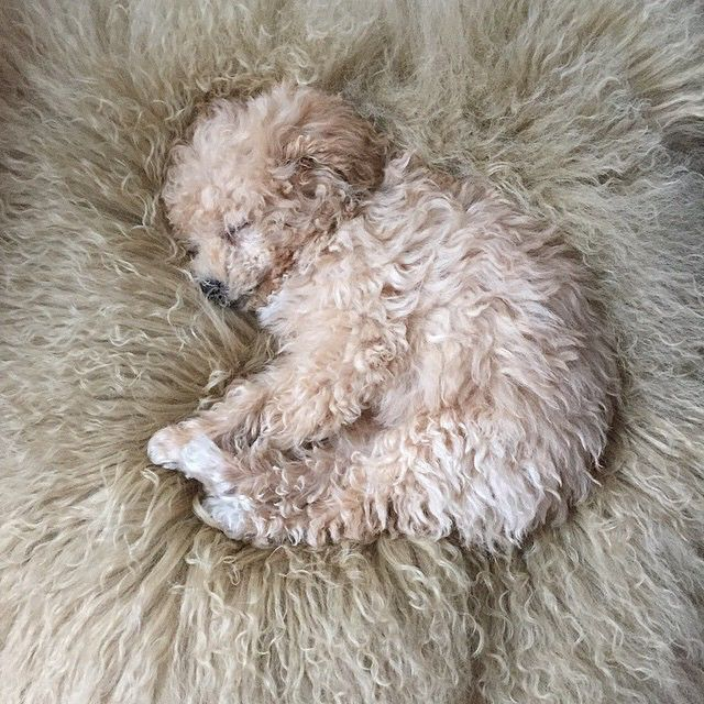 wooly puppy