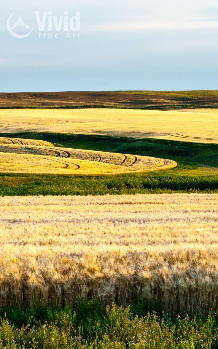 A late summers day wheat field in Saskatchewan Canada.