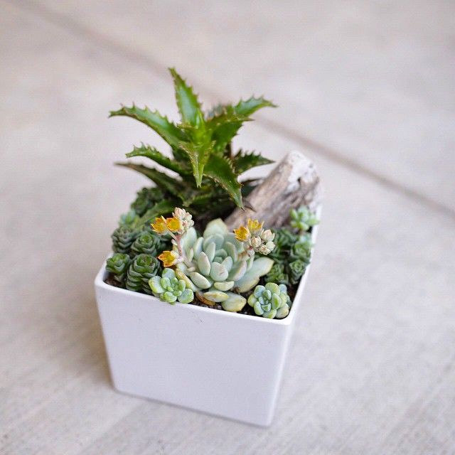 Driftwood makes a great accent prop for succulent arrangements. This arrangement is by Dalla Vita